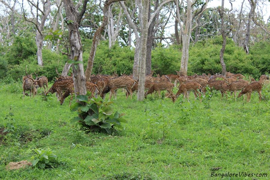 Deer Bandipur