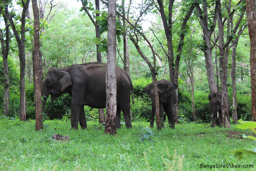 Elephants Bandipur
